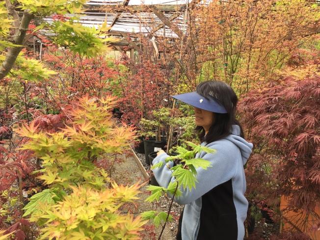 遊人在觀賞日本楓樹。