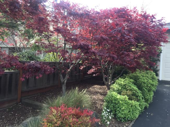 日本紅楓屬於直立形的雞爪槭。