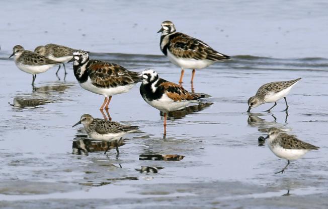 鳥類體積和鳥翼長度的變化可能是由「發育可塑性」機制導致的。(美聯社)