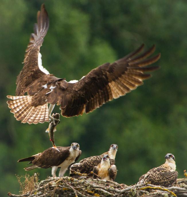 38年間,鳥翼長度平均增加了1.3%。(本報檔案照)