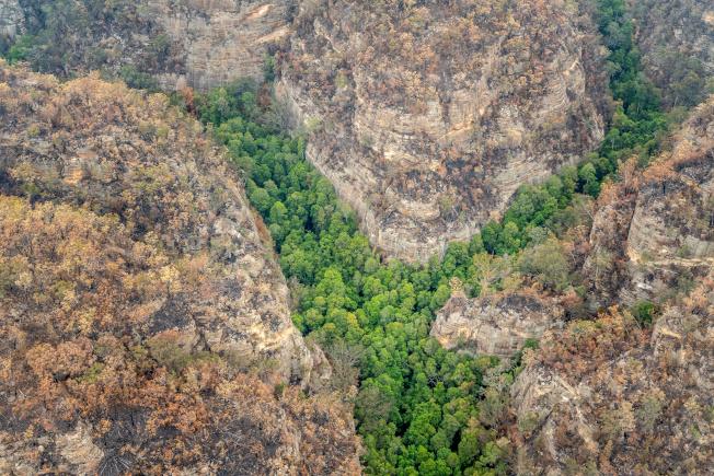 澳洲消防員搶救史前的「瓦勒邁松樹」(Wollemi Pines)免受野火吞噬。(路透)