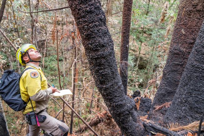 有些松樹被燒黑,但松樹林整體而言保存下來。(路透)