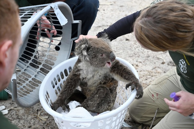 國際組織參與澳洲野火救援,撿到一隻飽受驚嚇的無尾熊。Getty Images