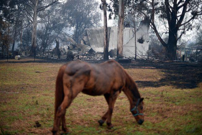 一匹馬低頭吃草,牠後方的房屋及樹木已被野火燒毀。Getty Images