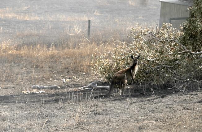 一隻袋鼠在火舌肆虐後光禿禿的土地上張望。歐新社