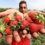 清洗農藥殘留 草莓流動水沖15分鐘