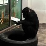 秦嶺黑猩猩會看報 號稱動物界學霸