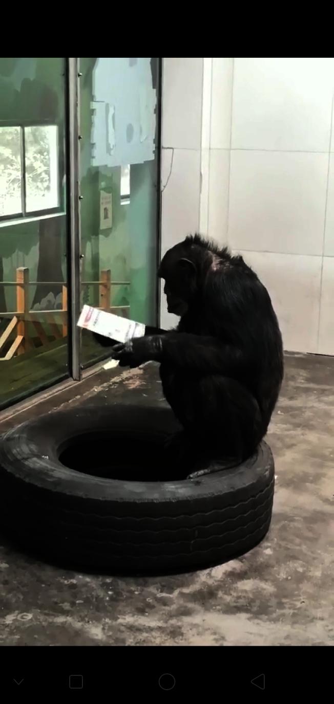 黑猩猩正在看報紙。(取材自新京報)