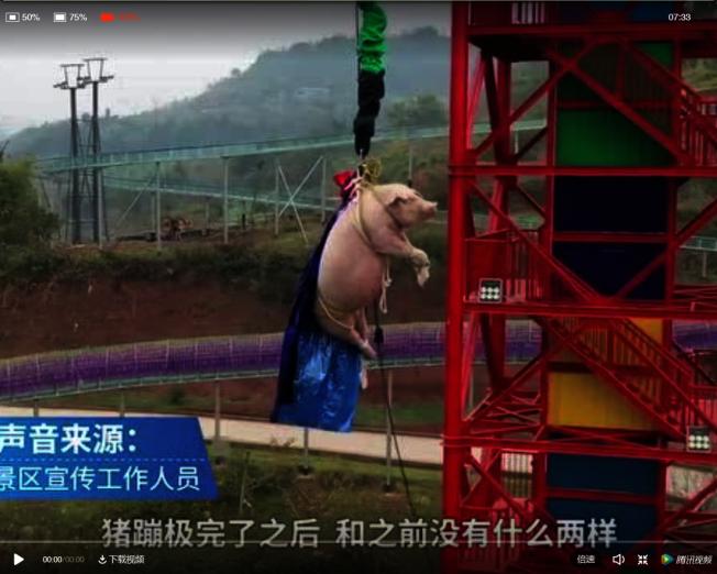 重慶一個景區為吸引遊客,把一隻活豬五花大綁後,從68米高的地方推下蹦極。(視頻截圖)