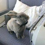 兔寶寶搭機當VIP 萌照好療癒