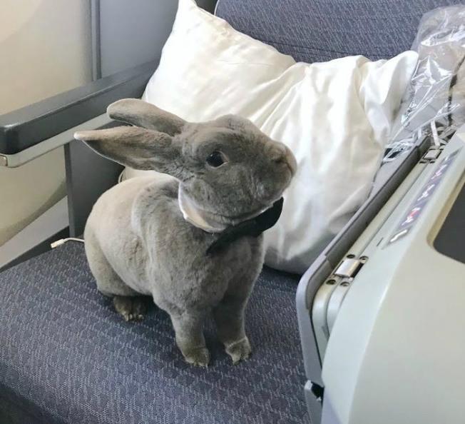 寵物兔可可搭飛機的萌照最近在網路上瘋傳。(取材自臉書)