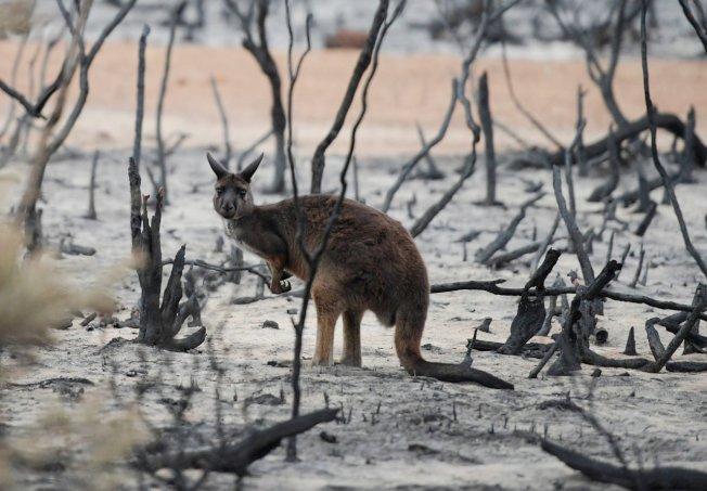 澳洲政府表示,100種「受威脅」植物與動物的已知棲息地,包括32種「極危」物種的棲地,有半數以上已遭森林大火燒毀。 路透社