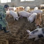 中國豬肉需求達高峰 美農準備發大財