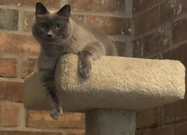 八歲貓蘇菲被誤注射安樂死劑。(取自網路)