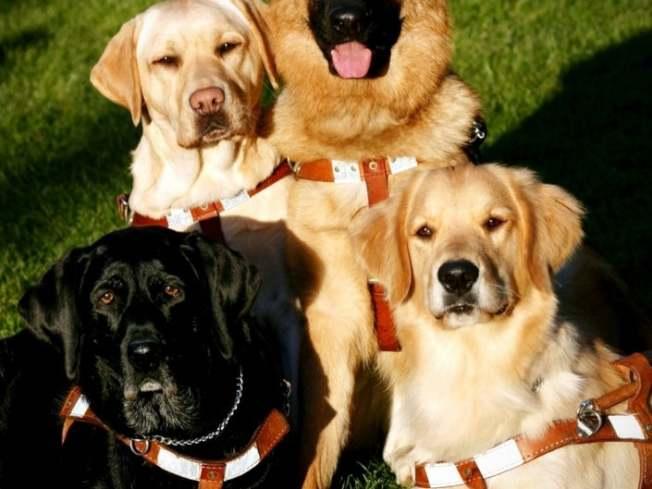導盲犬成為新州州犬。(Seeing Eye)