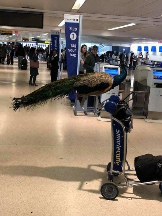 美國聯邦運輸部22日發布法規制定通知,未來將只允許經過專業訓練的服務犬上機,以避免旅客投機取巧,將寵物當成「服務動物」以規避加收費用。圖為一隻情感支持孔雀,飼主原本希望帶著牠上機,最後遭航空公司拒載。路透/資料畫面