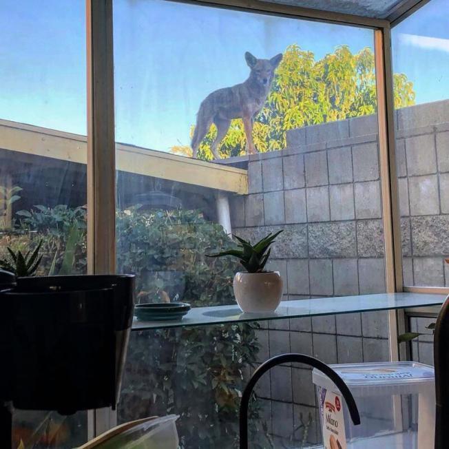 土狼跳上住家的牆頭,向室內張望。(本報檔案照)