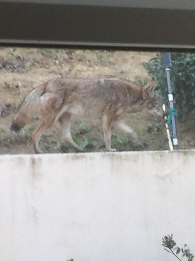 土狼跳上住家的牆頭向室內張望。(本報檔案照)