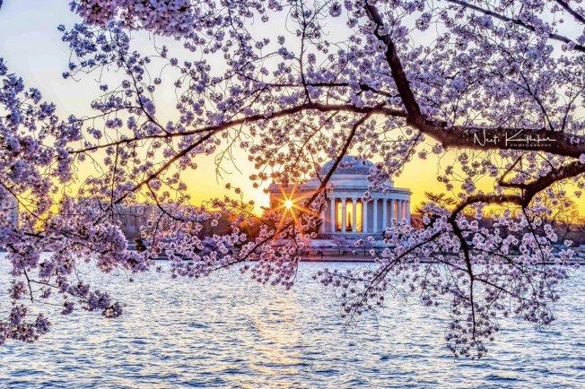 華盛頓特區被紐約時報選為2020年最值得造訪的地方。圖為夕陽下被盛開的櫻花半掩的傑弗遜紀念堂。(取自推特)
