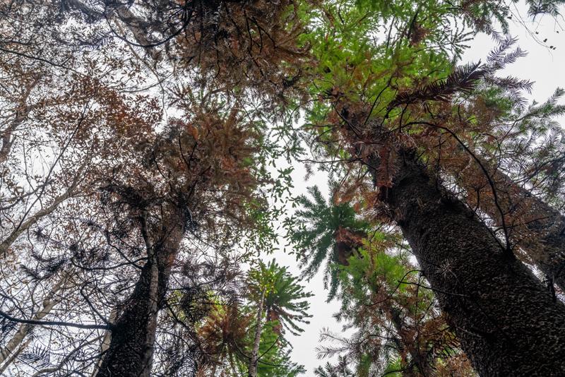 有些松樹被燒黑,但松樹林整體而言保存下來。美聯社