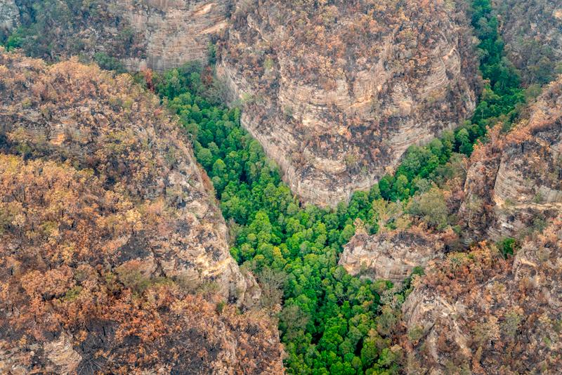 澳洲消防員搶救史前的「瓦勒邁松樹」(Wollemi Pines)免受野火吞噬。Getty Images