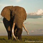 曾躲過盜獵者追殺 肯亞超人氣長牙象去世