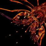 中國取消訂單 紐西蘭百噸龍蝦「疫」起放生