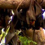 黑色龍捲風!30萬隻蝙蝠大軍 入侵澳洲小鎮