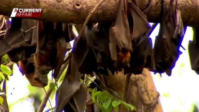被帶病蝙蝠叮咬或抓傷,最糟糕的情況是感染類似狂犬病的麗沙病毒,澳洲過去就有3例確診的重症病患。此刻正在延燒的2019新型冠狀病毒,源頭疑似也指向蝙蝠,更讓民眾避之唯恐不及。路透/NINE NETWORK