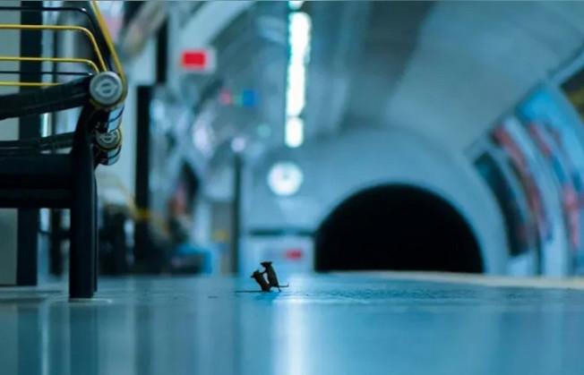 英國攝影師羅利(Sam Rowley)捕捉到兩鼠搏鬥的瞬間,逗趣照片贏得年度野生動物攝影師大賽民眾票選獎。圖取自/Sam Rowley的instagram