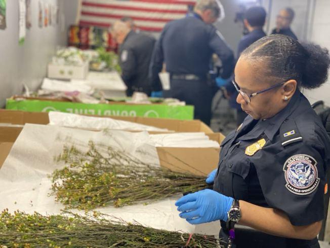 CBP农业部的专员先将花卉摊在白纸上,再检查花束中是否有害虫。(记者牟兰/摄影)