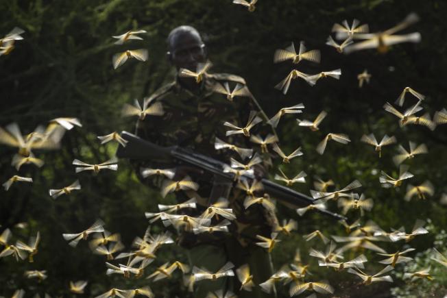 位於東非的衣索比亞南部、肯亞部分地區正遭受蝗災入侵,蝗蟲數量龐大數十年僅見。圖為2月1日肯亞護林員遭蝗蟲包圍。(美聯社)
