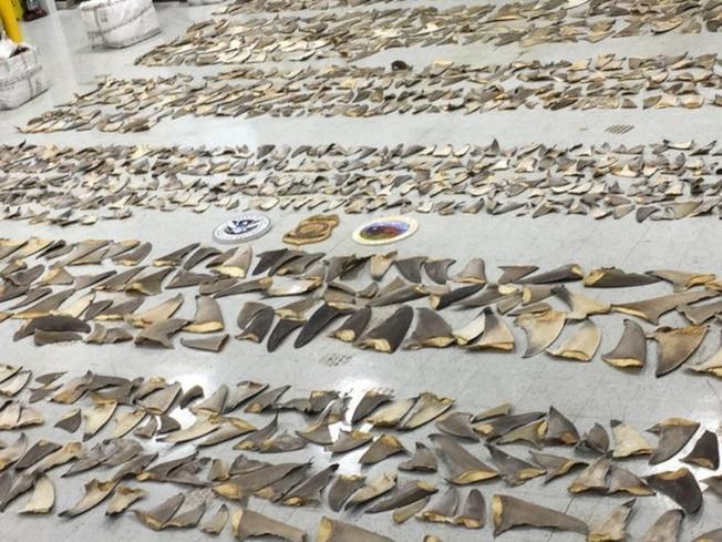 今年1月24日邁阿密港查獲的走私鯊魚魚鰭(魚翅)。(U.S. Fish and Wildlife Service)