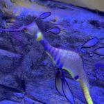 柏區水族館 孵出稀有草海龍