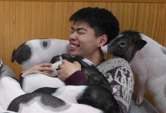 寵物豬也會咬傷人。圖為示意圖。(中新社)
