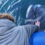 橙縣外海出現好奇灰鯨 喜歡讓人摸頭