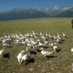 4000億隻非洲蝗蟲也不怕 中國治蝗全靠它