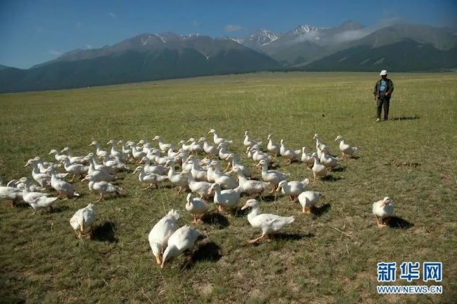 中國擁有多年的治蝗經驗,治蝗利器就是這些鴨兵鴨將。(新華網)