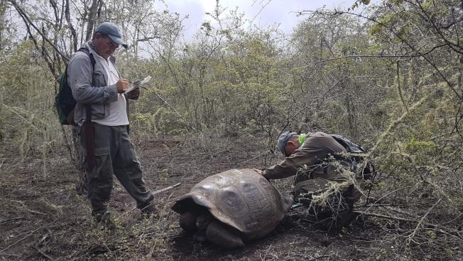 受到氣候變遷影響,動植物都會加速絕種。圖為在厄瓜多達爾文島上的巨陸龜面臨滅種危機。圖為島上公園官員正在檢視一隻懷孕的母龜。(美聯社)