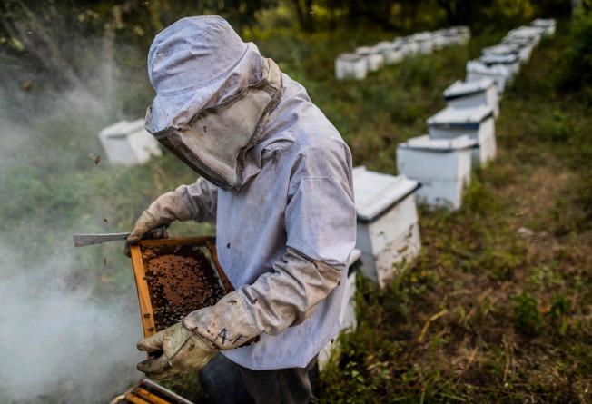 受到氣候變遷影響,各地蜜蜂繁殖生態出現異常,對蜂類生存帶來影響,也打擊了蜜蜂產業。(美聯社)