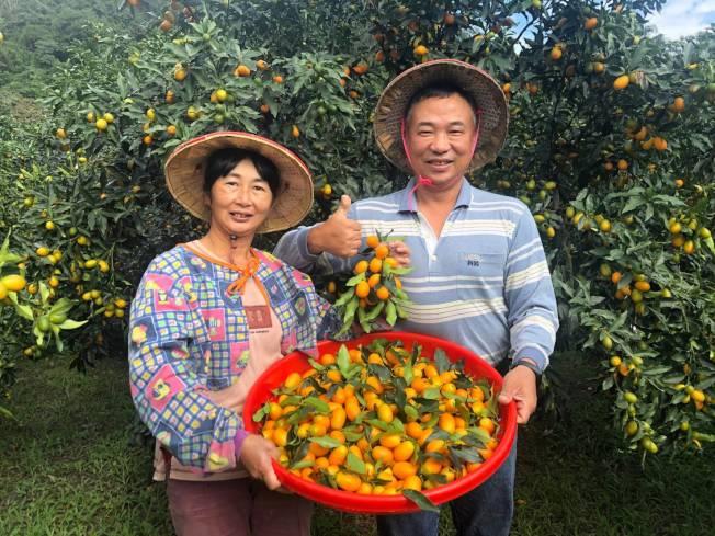 最近正值金棗產季,宜蘭縣府推出「尋棗宜蘭」遊程。(圖:吳楊欽提供)