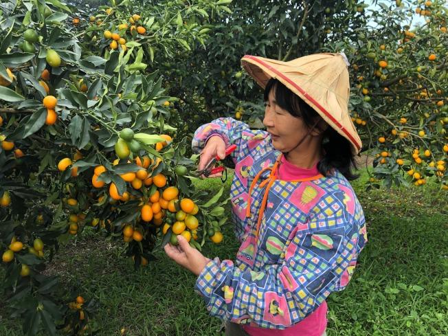 宜蘭今年評鑑出爐的「金柑王」,是連續三年奪冠的礁溪鄉農民游淑珍。(圖:吳楊欽提供)