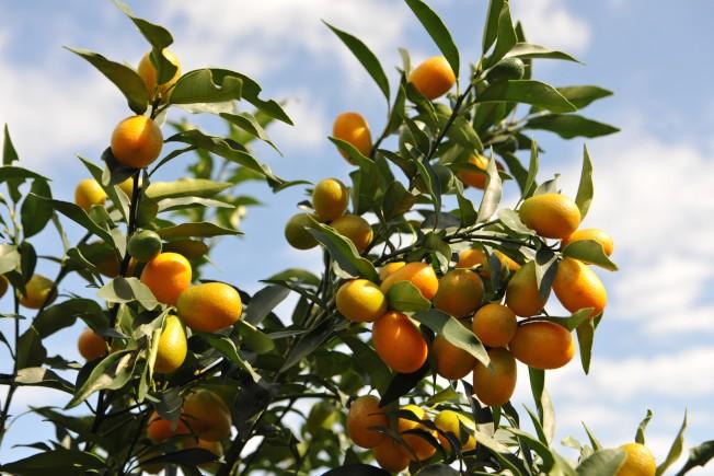 宜蘭栽種的金棗產量占全台九成以上,入冬到3月間正值產季。(圖:吳楊欽提供)