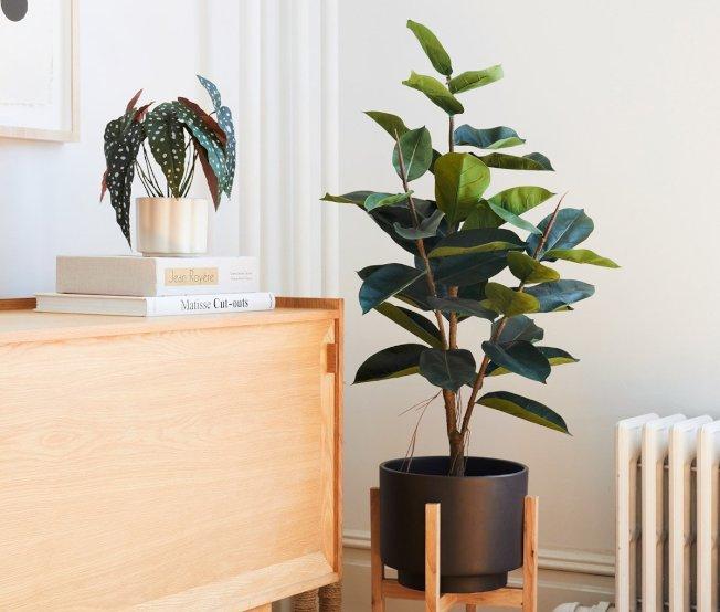 橡皮樹也是「ins風」最典型的綠植之一。(取自電商The Sill)