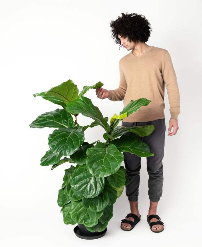 琴葉榕走紅可能是因為葉片寬大,不會造成室內太多繁瑣細節的感覺。(取自電商bloomscape)