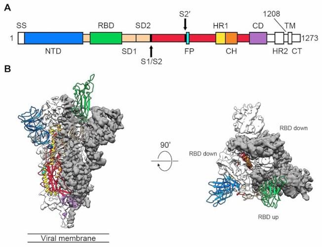 美國科學家19日發布第一張原子級解析度的新型冠狀病毒關鍵部位3D影像,有助了解病毒如何附著、進而感染細胞。(圖取自科學期刊網頁science.sciencemag.org)