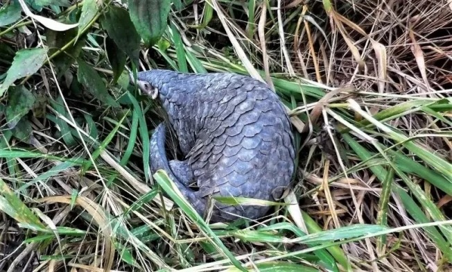 香港學者管軼的團隊18日在預印的生物科學網站bioRxiv發表論文說,保育類動物穿山甲的體內發現近似引起新冠肺炎的病毒。 示意圖。本報資料照片