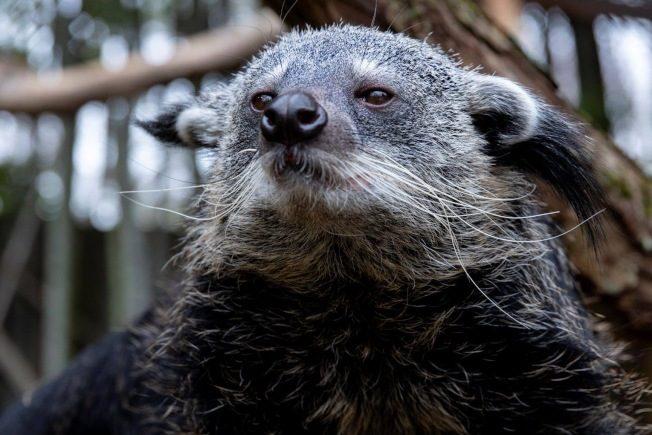 亞特蘭大動物園 迎來新成員「熊狸」