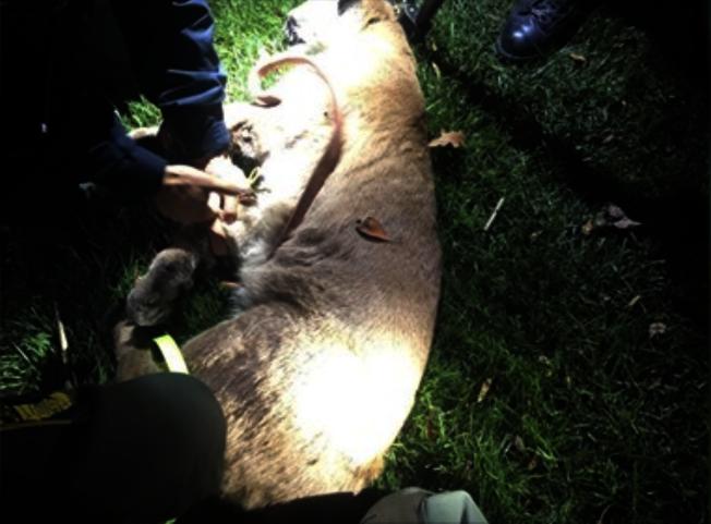 加州魚類與野生動物局找到攻擊女童的山獅,並將其安樂死,公園將在21日正常開放。(圖:翻攝自電視新聞)