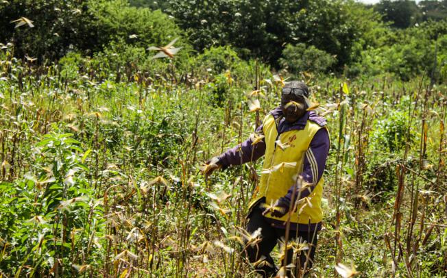 東非國家近期遭受了嚴重的蝗災,沙漠蝗蟲還侵入了烏干達、坦尚尼亞和南蘇丹。(新華社)